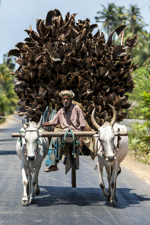 bullock: A man and his bullock cart transporting a load of coconut tree branches which will be used as fuel for cooking stoves on the road from Keerimalai to Dambakola Patuna, Sri Lanka.