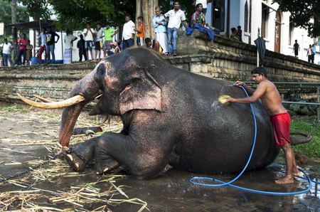 sri lanka temple: A ceremonial elephant having a wash within the Temple of the Sacred Tooth Relic complex in Kandy, Sri Lanka during the Esala Perahera. Editorial