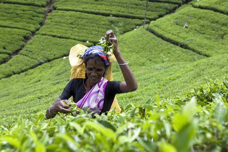 adams: A tea picker at work on a tea plantation near Adams Peak in Sri Lanka.