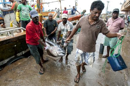 trawler: Men unload tuna fish from a fishing trawler in Negombo, Sri lanka.