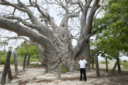 believed: A baobab tree believed to be around 500 years old on Delft Island in the Jaffna region of northern Sri Lanka. Editorial