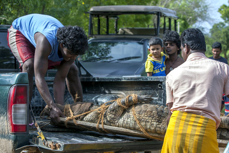 relocated: Men place a crocodile in the back of a truck after it was captured wandering down a road in Tissamaharama in Sri Lanka. It was relocated in Yala National Park