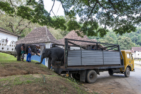 kandy: Young elephants being unloaded from a truck at the Temple of the Sacred Tooth Relic complex in Kandy, Sri Lanka. The elephants will participate in the Esala Perahara. Editorial