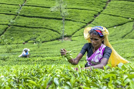 adams: A tea picker at work on Maskeliya Plantations Mousakellie Estate, near Adams Peak in Sri Lanka.