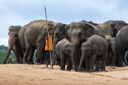 orphaned: A mahout elephant handler stands with a herd of elephants at the Pinnewala Elephant Orphanage in central Sri Lanka. The orphanage was established in 1975 to care for abandoned and orphaned elephants. The elephants are waiting to begin their daily walk thr Editorial