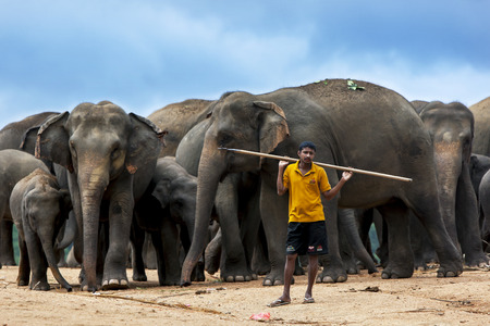 orphanage: A mahout elephant handler stands with a herd of elephants at the Pinnewala Elephant Orphanage in central Sri Lanka. The orphanage was established in 1975 to care for abandoned and orphaned elephants. The elephants are waiting to begin their daily walk thr Editorial