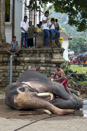 mahout: A ceremonial elephant being washed by a mahout within the Temple of the Sacred Tooth Relic complex in Kandy, Sri Lanka prior to the Esala Perahera. The Esala Perahera runs every year in late July or early August for ten days, ending on the Nikini poya ful Editorial