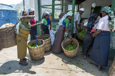 supervisores: Un grupo de recolectores de té esperar a tener su cosecha por la mañana de hojas pesadas por los supervisores de una plantación de té en la región de Nuwara Eliya de Sri Lanka.