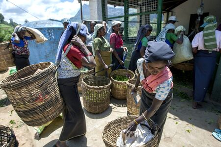 mornings: Tea pickers bring in their mornings work to be weighed at a plantation station near Nuwara Eliya in Sri Lanka.