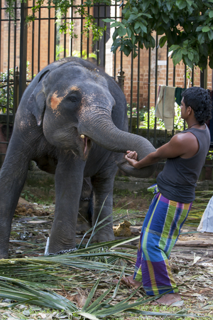kandy: A young elephant plays with a mahout elephant handler within the Temple of the Sacred Tooth Relic complex in Kandy, Sri Lanka. The elephant was one of many gathered in Kandy for the Esala Perahera.