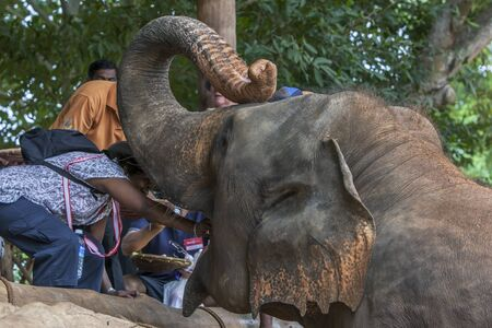 orphanage: A lady feeds an elephant at the Pinnawela Elephant Orphanage in central Sri Lanka. The orphanage was established in 1975 to care for abandoned and orphaned elephants Editorial