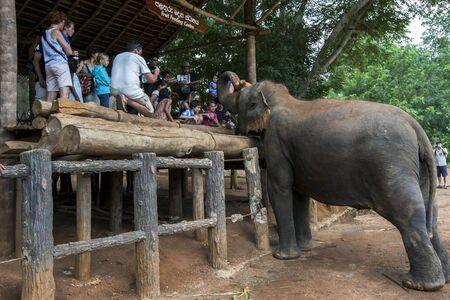 orphanage: An elephant at the Pinnawela Elephant Orphanage waits to be fed by tourists. Sri Lanka.