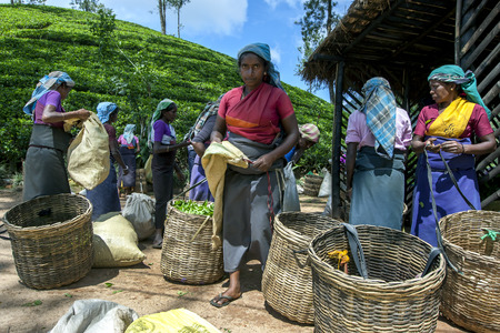 adams: A group of tea pickers wait to have their morning harvest of leaves weighed by supervisors of the  Maskeliya Plantations Mousakellie Estate, near Adams Peak in Sri Lanka. Editorial