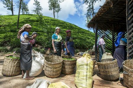 supervisores: Un grupo de recolectores de té esperar a tener su cosecha por la mañana de hojas pesadas por los supervisores de la Maskeliya plantaciones Mousakellie Estate, cerca de Pico de Adán en Sri Lanka. Editorial