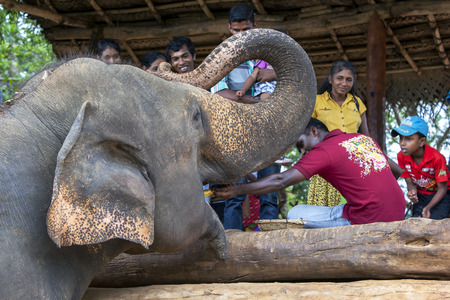 orphanage: An elephant at the Pinnawela Elephant Orphanage is hand fed fruit by a visitor to the park. Pinnawela is located in central Sri Lanka.