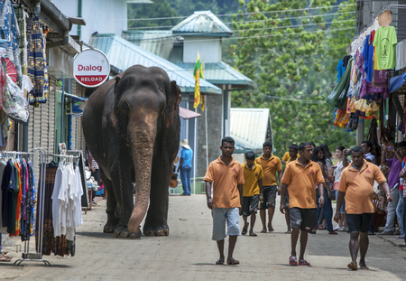 orphanage: An elephant from the Pinnawela Elephant Orphanage walks from the Maya Oya River back to the orphanage. Each day the elephants from the orphanage are walked to the river to bath. Pinnawela is located in central Sri Lanka. Editorial