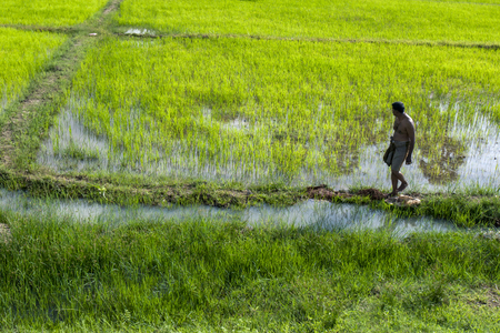 anuradhapura: A man walks along the edge of a rice field at Thachanthoppu in northern Sri Lanka. The rice field lays adjacent to the Anuradhapura to Jaffna railway line. Editorial