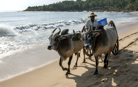 bullock: A pair of bullocks tow a cart along the beach at Arugam Bay on the east coast of Sri Lanka. The driver is collecting fish from along the beach to take to a local fish market.