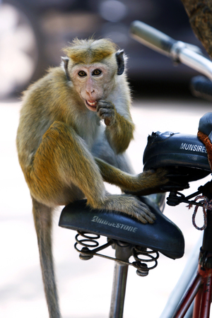 toque: A Toque macaques monkey chewing on a bike seat at Polonnaruwa, Sri Lanka.