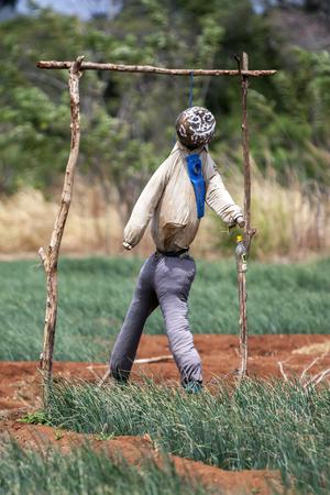 sigiriya: A scarecrow in a field of vegetables in Sigiriya, Sri Lanka.