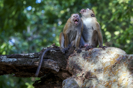 toque: An aggressive Toque macaques monkeys  sits in a tree at Yala National Park in Sri Lanka.