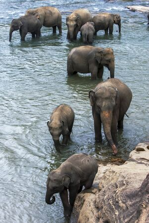 orphanage: Elephants from the Pinnawela Elephant Orphanage Pinnawala bath in the Maha Oya River in Sri Lanka. The elephants are taken twice daily from the orphange to bathe in the river, much to the delight of tourists. Stock Photo
