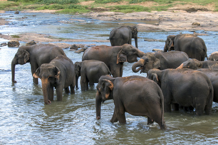 Young elephants from the Pinnawela Elephant Orphanage Pinnawala bath in the Maha Oya River. Twice daily the elephants are walked through the streets of Pinnawela to the river to bathe, much to the delight of tourists who witness the event.