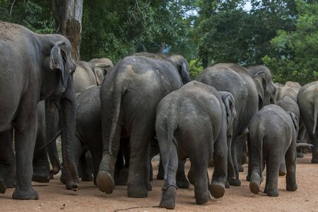 orphanage: Elephants from the Pinnawela Elephant OrphanagePinnawala begin their walk to the Maha Oya River. Twice a day the elephants walk through the streets of Pinnewala from the orphanage to the river to bathe. The Pinnewala Elephant Orphanage was established in