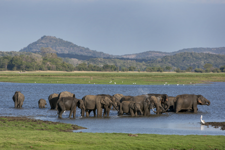 A herd of elephants bathing in the tank man-made reservoir at Minneriya National Park in the late afternoon. Minneriya National Park is located in central Sri Lanka, not far from the town of Habarana and is home to around 200 wild elephants.