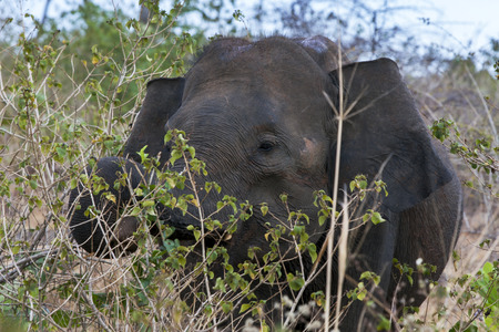 southern sri lanka: An elephant grazing amongst bushland in the Uda Walawe National Park. This national park is located 21 km from Embilipitiya in southern Sri Lanka and is considered the most similar to the famous savannah national parks in Eastern Africa. It is home to aro