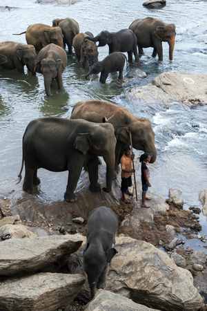 man s: A lady enjoys contact with an elephant from the Pinnawela Elephant Orphanage Pinnawala on the banks of the Maha Oya River in Sri Lanka. The elephants are taken twice daily from the orphange to bathe in the river, much to the delight of tourists. The man s