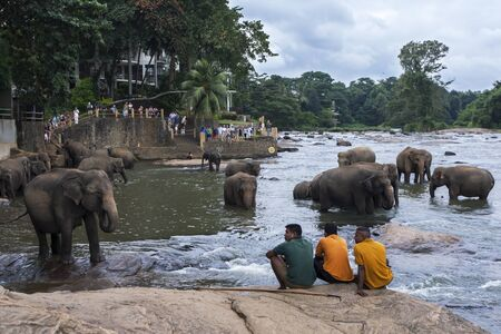 maha: Three mahouts elephant handlers keep an eye on elephants from the Pinnawela Elephant Orphanage Pinnawala bathing in the Maha Oya River. The elephants from the orphanage are lead twice a day through the streets of Pinnewala to the river to bathe. The daily