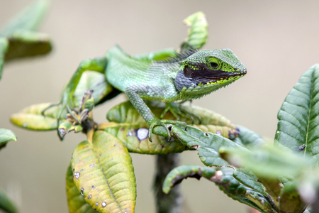 plains: A Black Lipped Green Lizard Calotes Nigrilabris at Horton Plains National Park in Sri Lanka.