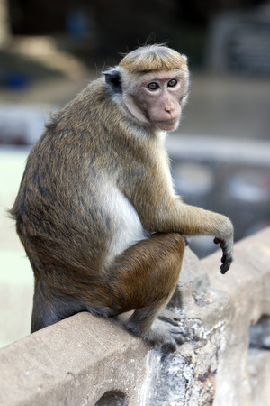 toque: A Toque macaques sitting on a wall at Koneswaram Kovil in Trincomalee on the east coast of SriLanka.