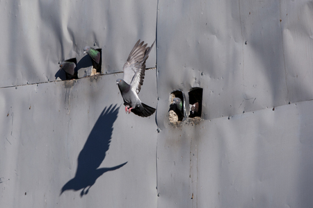 pigeon holes: A pigeon leaves its coop in the early morning in the town of Goreme in the Cappadocia region of Turkey.