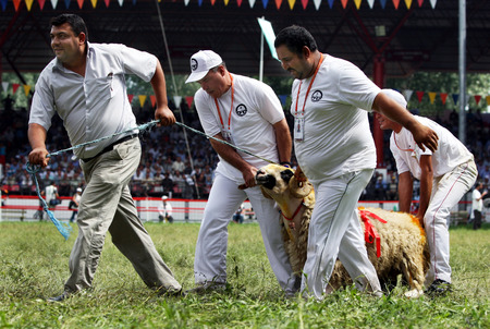 feed the poor: A ram which will be slaughtered for meat to feed poor families in Edirne is lead across the Kirkpinar arena. Edirne, Turkey, 2010. Editorial