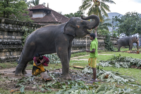 supposed: A man carries his young daughter under the body of one of the ceremonial elephants within the Temple of the Sacred Tooth Relic in Kandy, Sri Lanka. This is supposed to bring good luck. The elephant was in Kandy to participate in the Esala Perahera which i