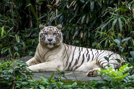 tigre blanc: A white tiger surveys the crowd watcing it as it relaxes in its enclosure at the Singapore Zoo in Singapore. Banque d'images