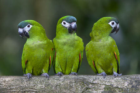 loros verdes: Green Parrots sit on a branch at the Singapore Zoo in Singapore. Foto de archivo