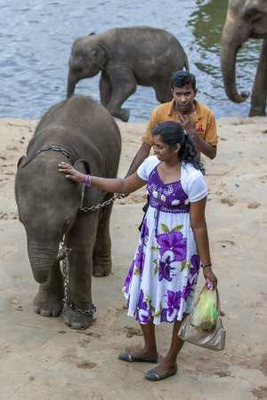 orphanage: A lady pats an elephant calf on the bank of the Maha Oya River in central Sri Lanka. The elephant is part of a herd walked from the Pinnewala Elephant Orphanage to the Maha Oya River each day to bathe. Editorial