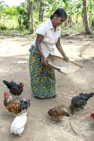 sigiriya: A lady seperates grain from husks using a traditional method at her home near Sigiriya in Sri Lanka. Chickens gather at her feet hoping for a feed of grain.