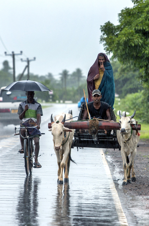 pull along: A pair of bullocks pull a cart along the road near Batticaloa on the east coast of Sri Lanka during a heavy November rain storm.