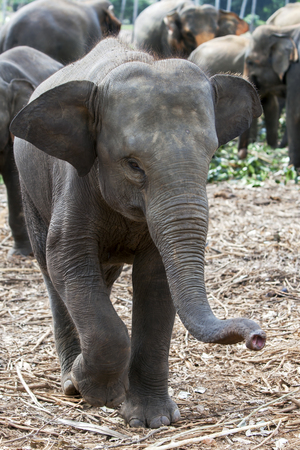 orphaned: A curious young elephant at the Pinnewala Elephant Orphanage (Pinnawala) in Sri Lanka. Created in 1975 the orphanage was established to care for abandoned or orphaned elephants. Stock Photo