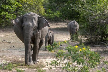 southern sri lanka: An elephant leads her two cubs towards a watering hole in Yala National Park in southern Sri Lanka.