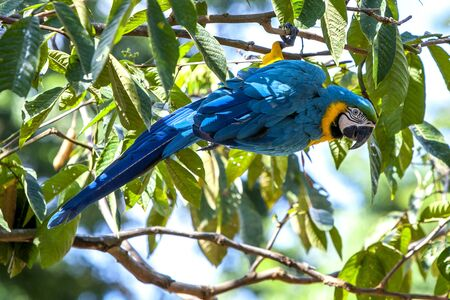 rio amazonas: A blue-and-gold macaw perches in a tree above the flooded Monkey Island near Iquitos in Peru. The Amazon River had risen to one of its highest levels on record flooding many communities lining its banks. Foto de archivo