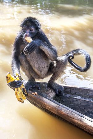 rio amazonas: Un mono ara�a peruana se sienta en una canoa por encima de la Isla de los Monos inundado cerca de Iquitos en Per�. El r�o Amazonas se hab�a elevado a uno de sus niveles m�s altos registrados inundando muchas comunidades que bordean sus orillas. Foto de archivo