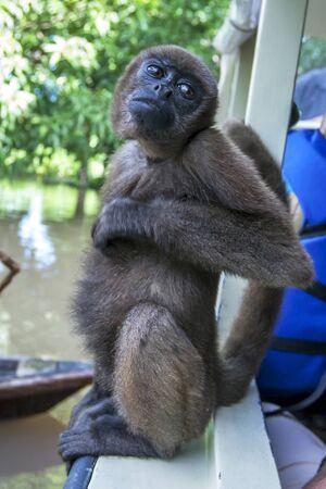 rio amazonas: Un mono ara�a lanudo se sienta en el lado de un barco por encima de la Isla de los Monos inundado cerca de Iquitos en Per�. El r�o Amazonas se hab�a elevado a uno de sus niveles m�s altos registrados inundando muchas comunidades que bordean sus orillas.