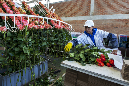 la compania: A worker at the Hacienda La Compania Roses Plantation near Cayambe in Ecuador packs roses in the processing factory ready for worldwide export. Editorial