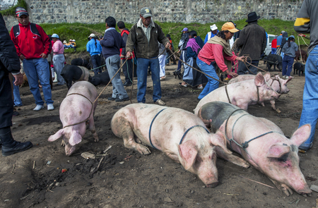 under control: A man keeps his pigs under control at the Otavalo animal market in Ecuador in South America.
