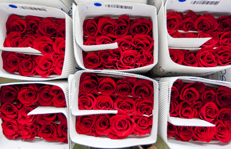 Roses packed ready for export at the Hacienda La Compania Roses Plantation near Cayambe in Ecuador. The major market for these roses is the USA.